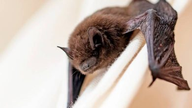 Photo of Temuco: Salud inicia operativo de vacunación de mascotas por hallazgo de murciélago con rabia