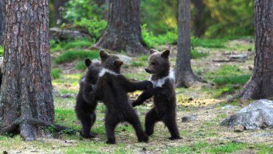 Photo of Acierto fotográfico, descubren a oseznos bailando en el bosque