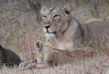 Photo of Una leona adopta y cría a un cachorro de leopardo junto a su camada