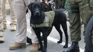 Photo of Elier y Flawy, los canes antidrogas de Carabineros del OS-7 Araucanía que sacaron de circulación $30 millones en droga