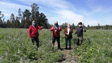 Photo of Cooperativa agrícola exportadora de Maquehue lleva lupino amargo al continente europeo