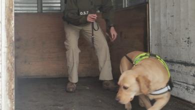 Photo of Perquenco: Carabineros en controles en la Ruta 5 Sur detienen a cinco infractores e incautan una pistola 9 milímetros y marihuana